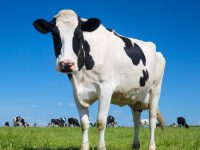 Portrait of black and white cow with blue sky