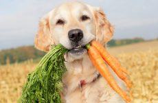 Golden Retriever holding carrots